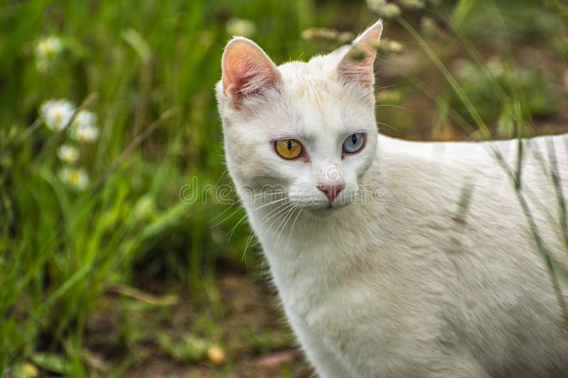 Most beautiful white cat of strange eyes of the world with a blue eye and a yellow eye feline form of heterochromia. Most beautiful white cat of strange eyes of royalty free stock image