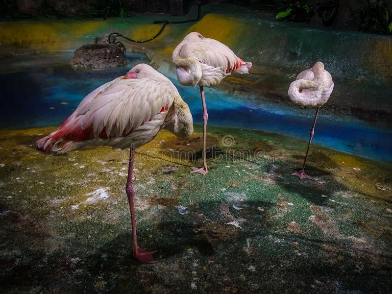 The most comfortable position for sleeping was invented by flamingos. Birds look like white and pink flowers growing on the beach stock images