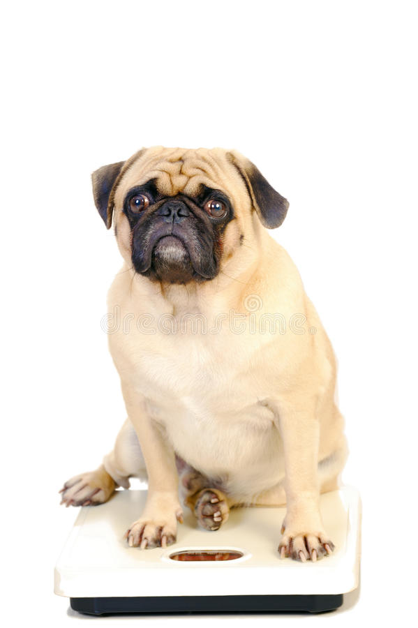 Most Cute Pug Dog were weighed. stock photography