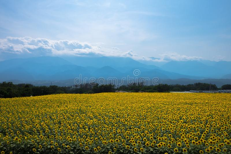 SunFlower In Japan. Most famous sunflower spot in Japan royalty free stock images