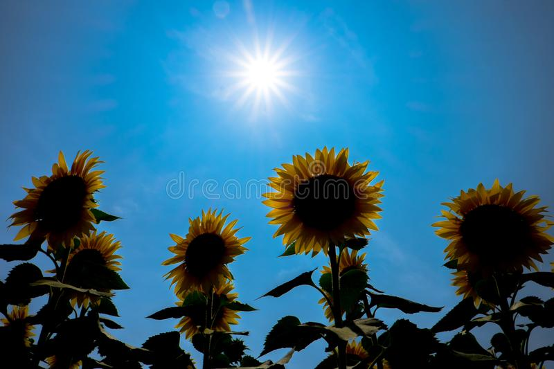 Sunflower Japan. Most famous Sunflower spot in Japan stock images