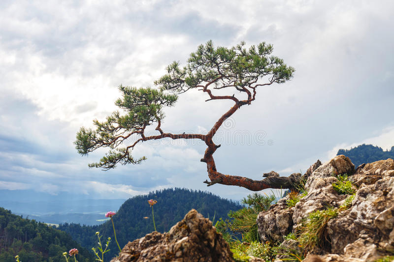 Most famous tree in Pieniny Mountains. Pine, most famous tree in Pieniny Mountains, Poland stock image