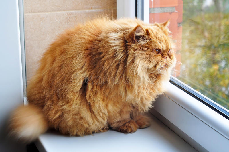 Most fat glutton funny ginger cat. Like Garfield, looking out the window and hunting bird stock image