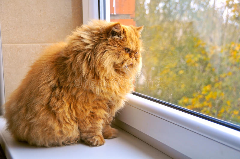 Most fat glutton funny ginger cat. Like Garfield, looking out the window and hunting bird royalty free stock photography