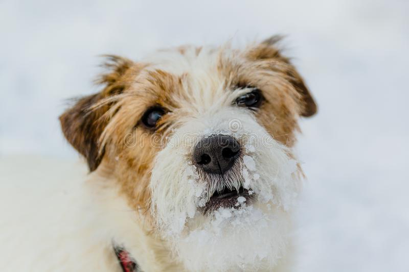 The most gay smiling dog in the world. Jack Russell Terrier, emotions and joy. royalty free stock photo