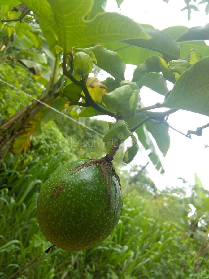 Passion fruits of Sri Lanka stock photos
