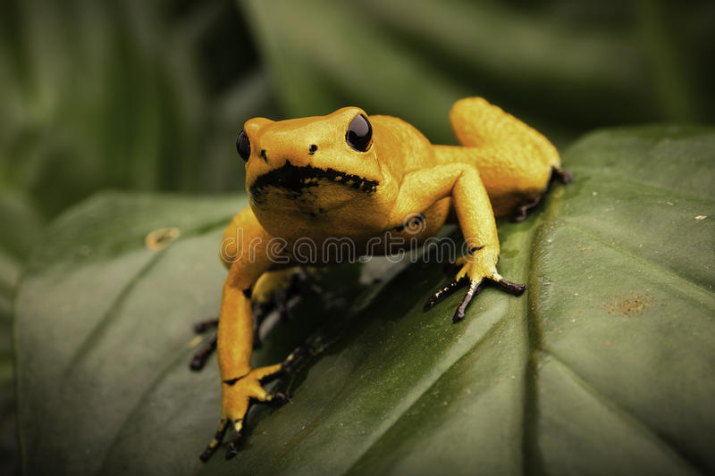 Most poisonous poison dart frog Phyllobates terribilis. Poison dart frog, Phyllobates terribilis orange. Most poisonous animal from the Amazon rain forest in royalty free stock image