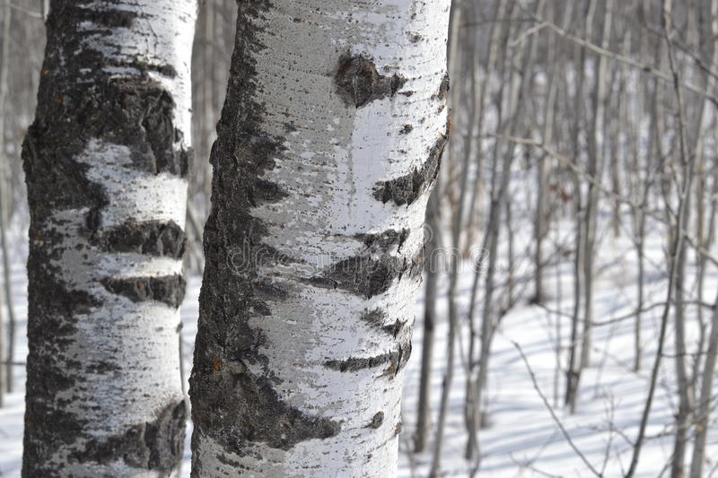 The Most Poplar of Trees. Two poplar trees in winter may not stand out but they can not be ignored either. These trees did not need a lot of cool to be eye royalty free stock photo