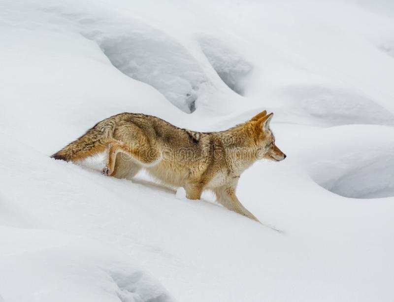 Most vulnerable in deep snow, a coyote will hop from one opening. To another in winter stock photography