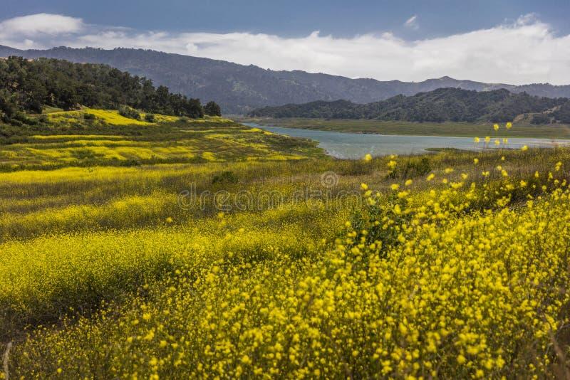 A mostarda amarela cresce onde lago Casitas fotos de stock royalty free