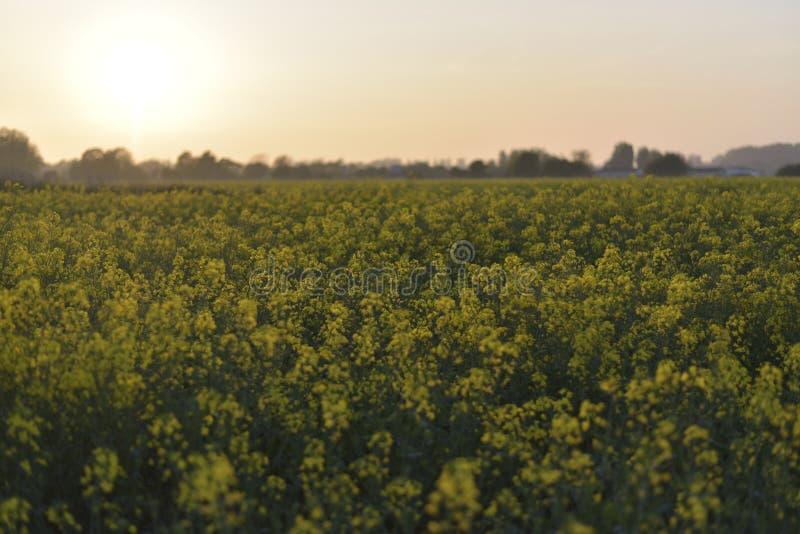 Mostarda de campo no por do sol imagens de stock