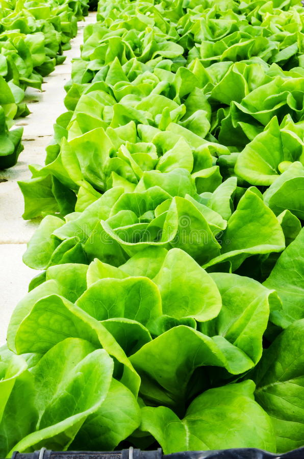 Mostarda verde chinesa fotografia de stock