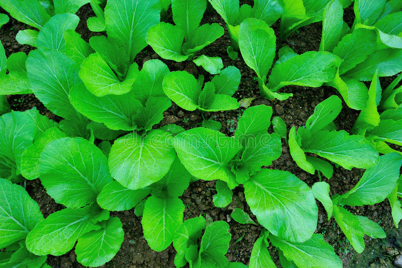 Mostaza de hoja verde en crecimiento foto de archivo