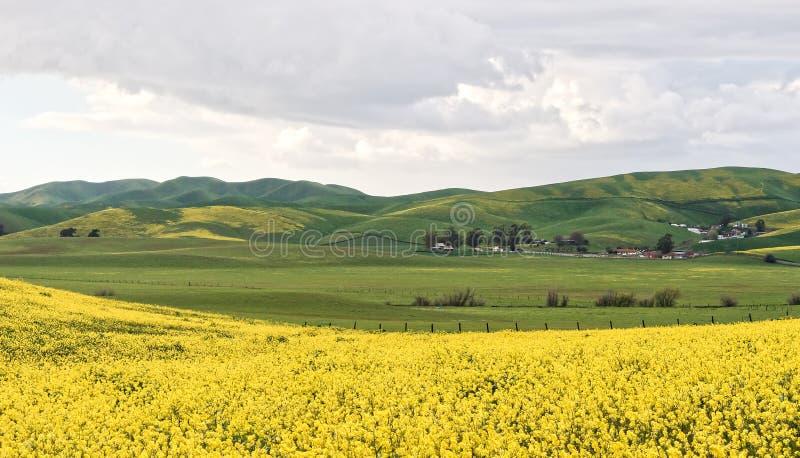 Mostaza salvaje de Livermore en la floración fotos de archivo