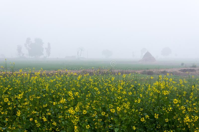 Mosterdgebied in Mistige Ochtend in Punjab, India royalty-vrije stock fotografie