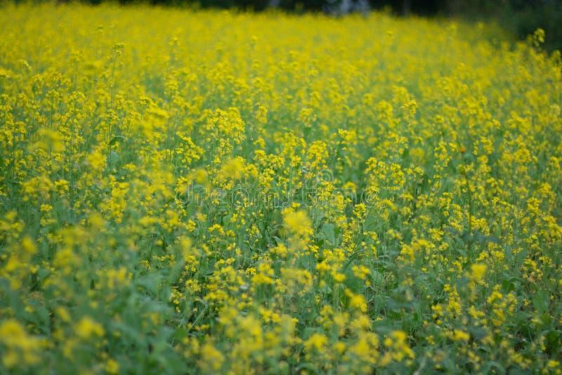 Mosterdinstallatie in de lente stock afbeeldingen
