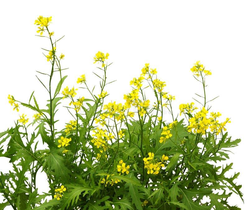 Mosterdinstallatie het bloeien Wilde mosterdbloemen stock foto