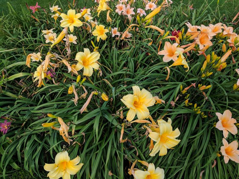 Mostly Yellow Flowers. Yellow and pink flora outside in the garden royalty free stock photos