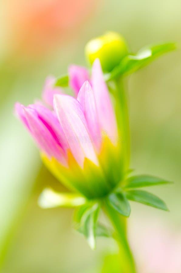 Mostra cor-de-rosa de Gasania na flora real 2011. imagem de stock