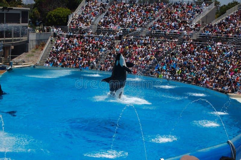 Mostra da orca no mundo do mar de San Diego imagens de stock
