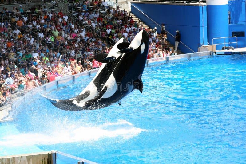 Mostra de SeaWorld Orlando Shamu fotografia de stock