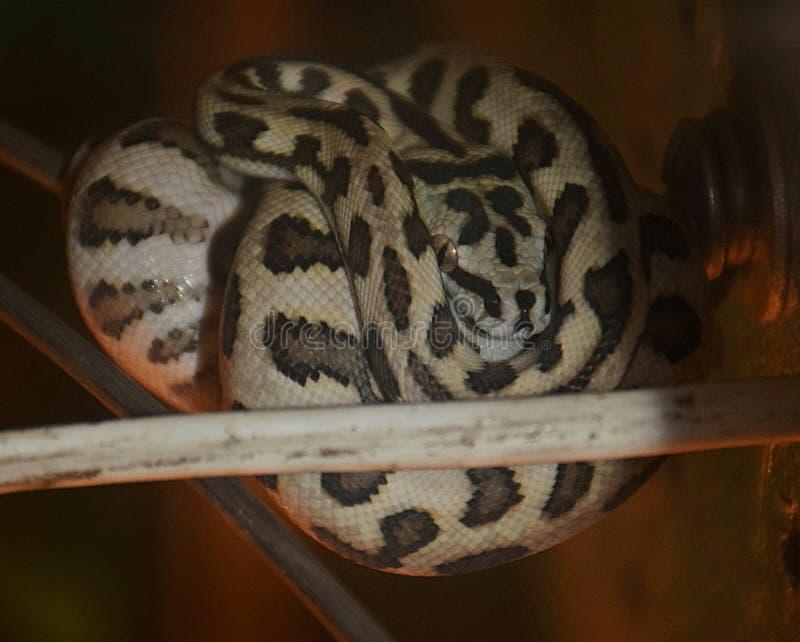Mostra dei serpenti tossici, l'8 settembre fotografia stock libera da diritti