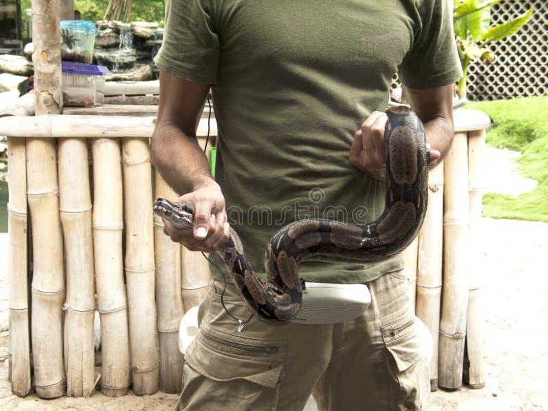 Mostra do réptil que indica uma serpente do constrictor de boa imagens de stock