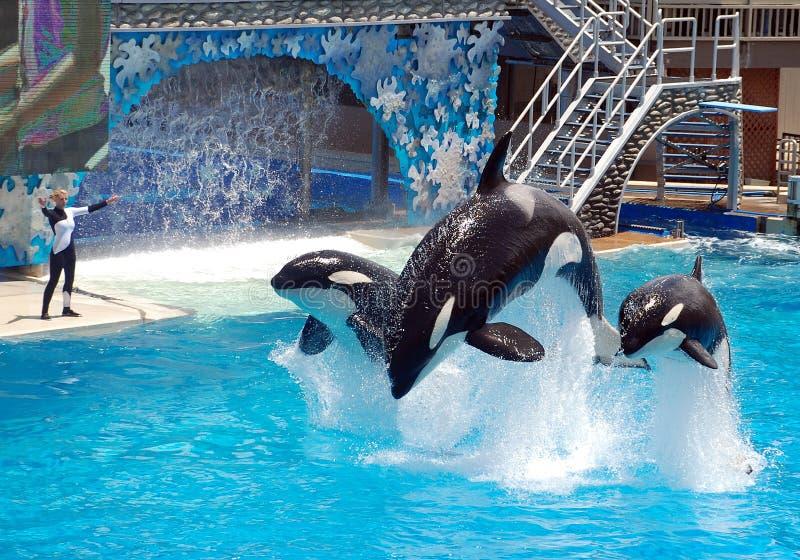 Mostra do shamu da baleia de assassino no seaworld San Diego imagens de stock