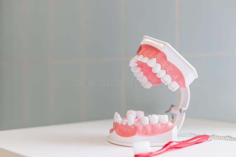 Mostrando en un modelo del mandíbula cómo limpiar los dientes con el cepillo de dientes correctamente y la derecha demostración e fotografía de archivo libre de regalías