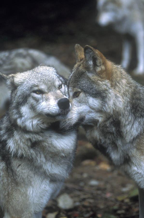 Mostrando o domínio do lobo imagens de stock