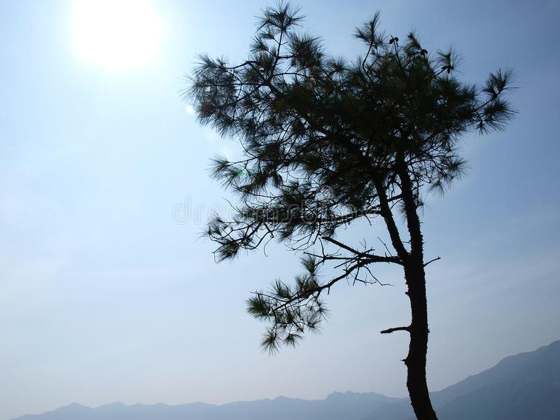 Mostre em silhueta o estilo do ramo do pinheiro sob a luz solar imagem de stock royalty free