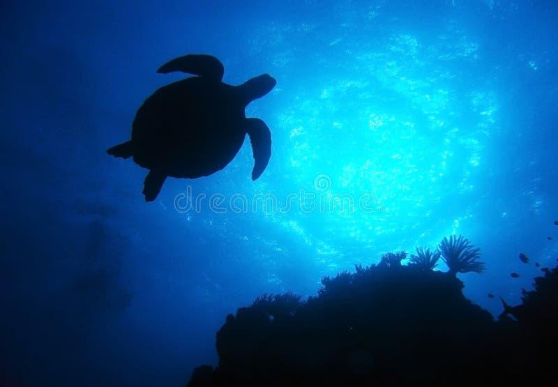 Mostre em silhueta a tartaruga, grande recife de barreira, Austrália imagem de stock royalty free