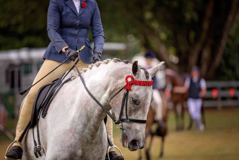 Mostre o cavalo que está sendo montado em torno de uma arena fotografia de stock royalty free