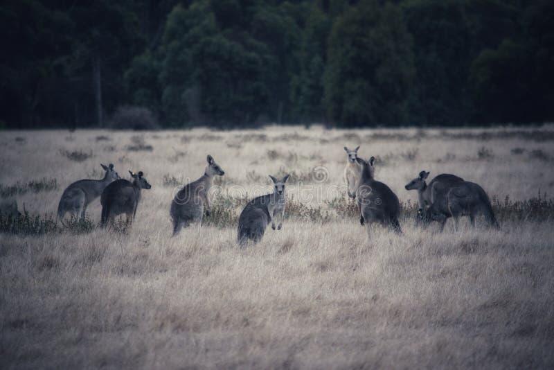 Motłoch kangury fotografia stock