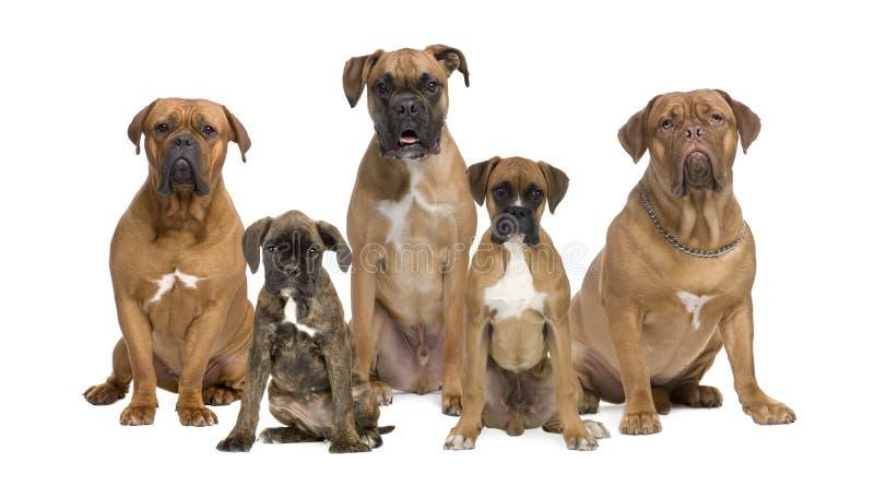 mot bakgrund dogs boxare ståendewhite fotografering för bildbyråer