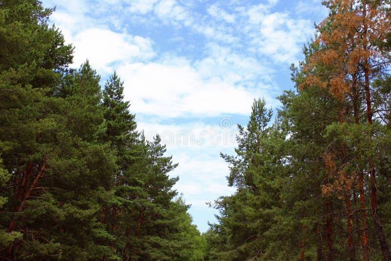 mot bakgrund field blåa oklarheter för grön vitt wispy natursky för gräs Gräsplan sörjer träd och blå himmel Natur lopp, ekologib royaltyfria foton