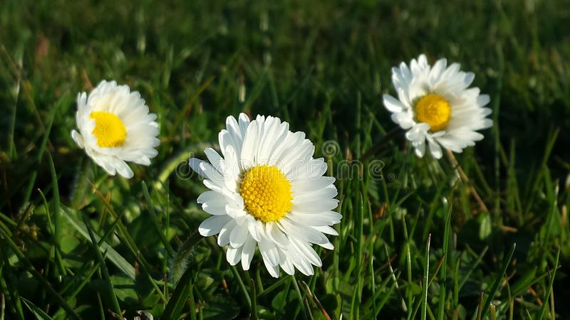 mot blå tusensköna blommar skyyellow royaltyfri foto