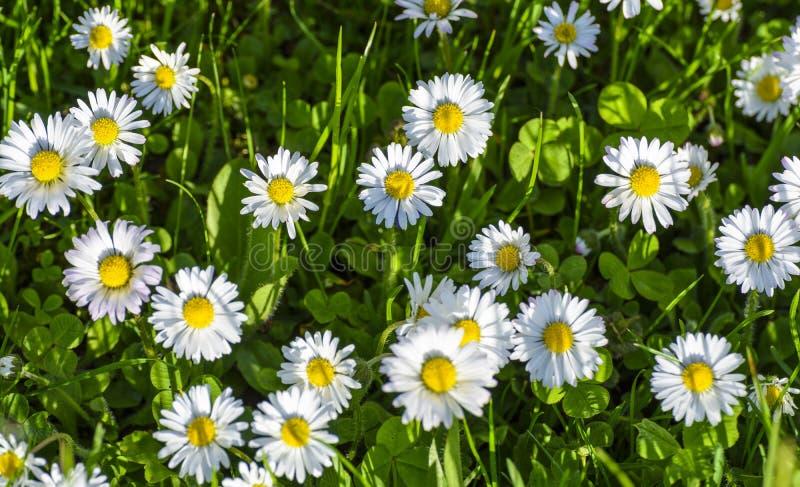 mot blå tusensköna blommar skyyellow arkivfoto