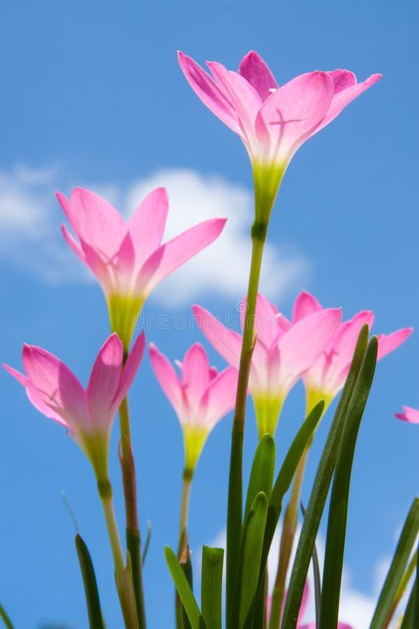 mot blåa zephyranthes för blommaskyspp arkivbild