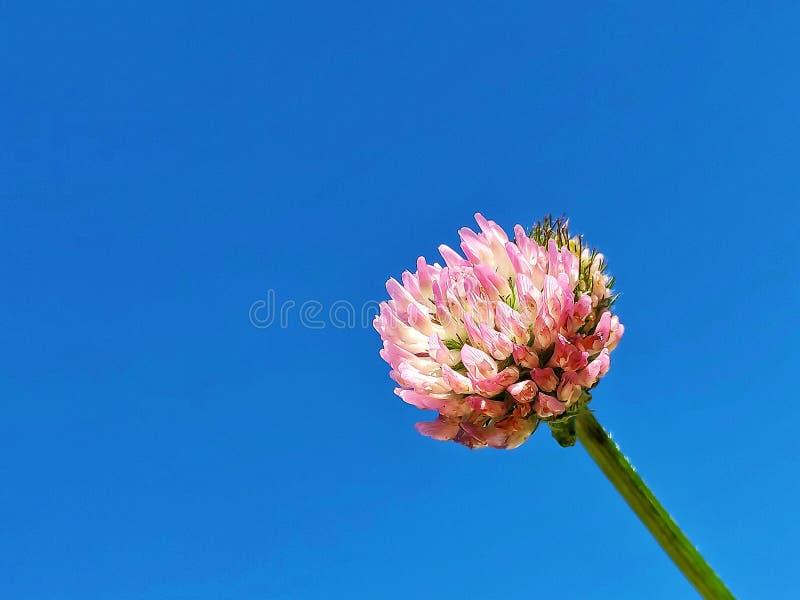 mot den bl?a v?xt av sl?kten Trifoliumblommaskyen fotografering för bildbyråer