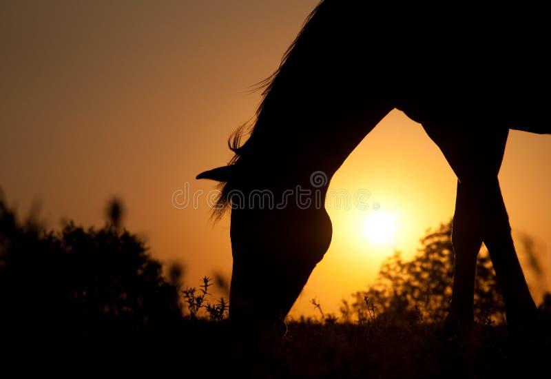mot den stigande silhouettesunen för betande häst fotografering för bildbyråer