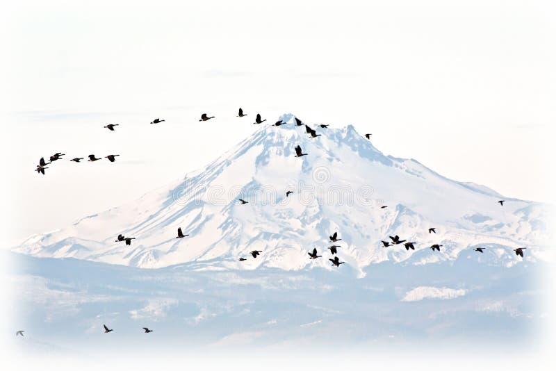mot det snöig berg för Kanada flockgäss fotografering för bildbyråer