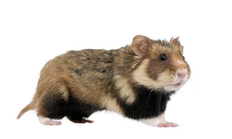 mot europeisk hamsterwhite för bakgrund royaltyfri bild
