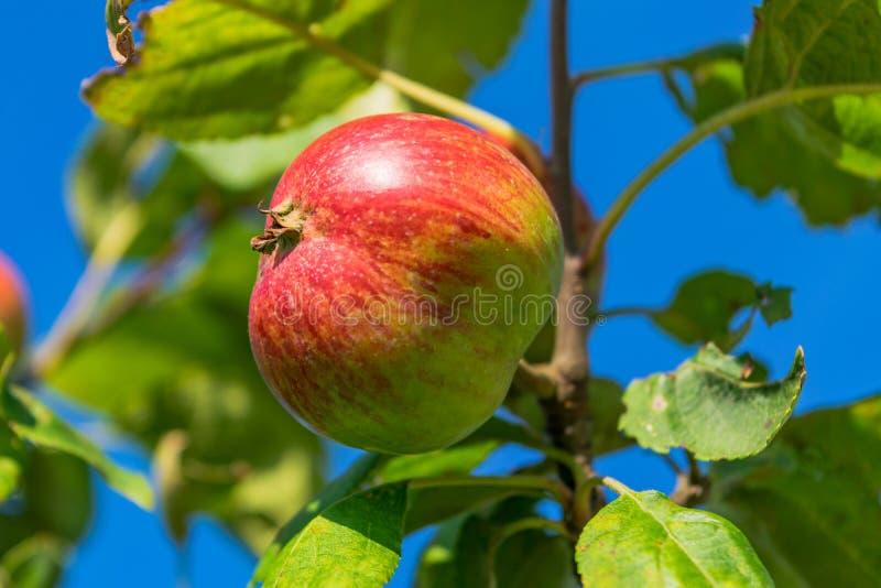 mot för filialred för äpplen den blåa skyen arkivfoton