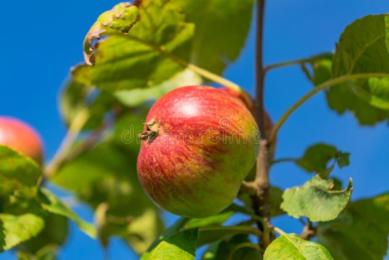 mot för filialred för äpplen den blåa skyen royaltyfri bild