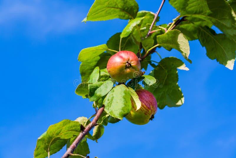 mot för filialred för äpplen den blåa skyen royaltyfria foton
