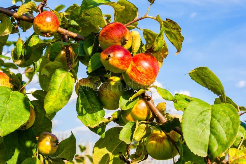 mot för filialred för äpplen den blåa skyen arkivbild