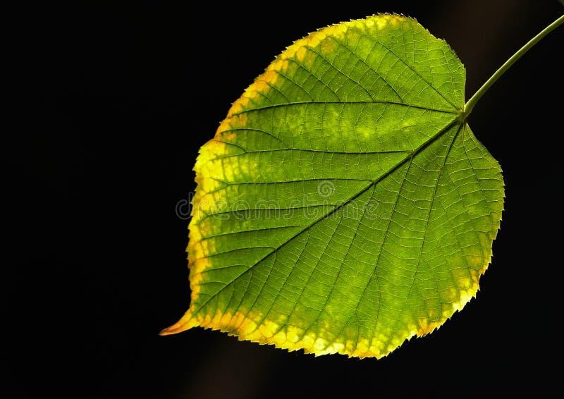 Download Mot leaflimefruktsunen arkivfoto. Bild av leaf, vissna - 277110