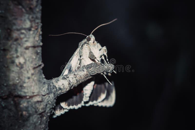 Mot met kleurrijk oranje vleugelsclose-up openlucht portret van een kruipend ongedierteclose-up op een boomtak bij nacht stock foto