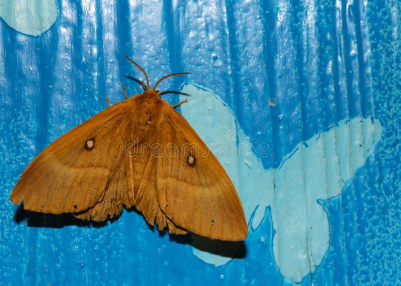 Mot op hand, mooie nachtvlinder op een vrouwelijke hand op een blauwe achtergrond royalty-vrije stock afbeeldingen